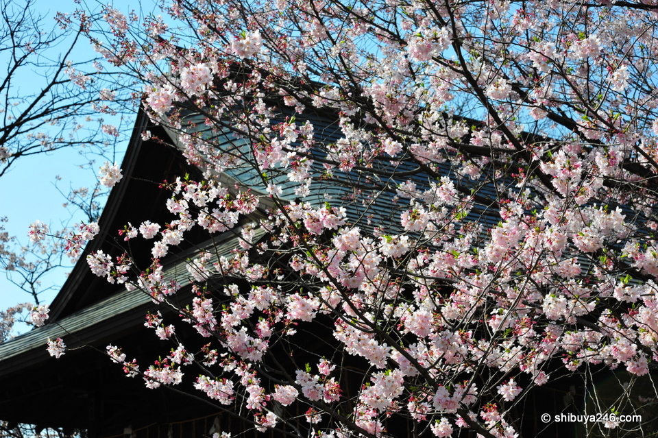 The Shrine buildings provide a nice backdrop for the Sakura.