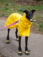 Lana in Her New Raincoat (beautifulcataya) Tags: greyhound lana madison raincoat muttluks yellowraincoat allweatherdogbooties voyagersk9apparel