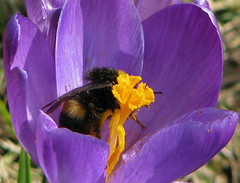 Bumble-bee in a candy store (Tina Jarnling) Tags: light colors purple crocus lila bumblebee krokus färger ljus humla