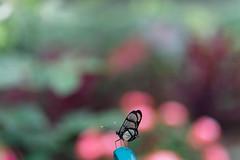 baudchon-baluchon-mindo-papillons-39