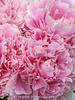 Frilly peonies (Of Spring and Summer) Tags: stilllife shabbychic romantic photography pink ofspringandsummer nature home interior inspiration garden flowers flower floral design creative cottagestyle art peony peonies frilly cottagegarden frillypetals