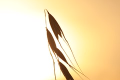 Grass seed and sun set (yph photography) Tags: sunset sky sun nature grass canon golden seed sst yampy eos500d