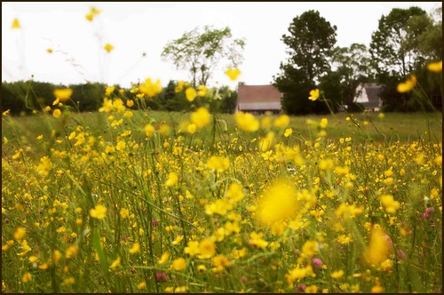 Blowing Buttercups