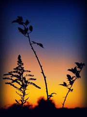 Sentinals of the Dusk (Explored) (joehall45) Tags: flowers colors evening autunm mywinners superaplus aplusphoto citrit