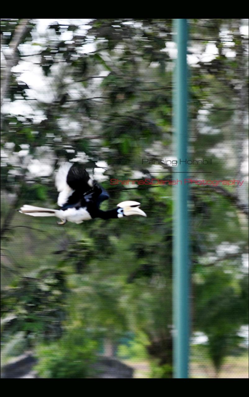 panning Hornbill