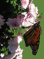 Monarch on Mum 2 (moelynphotos) Tags: flowers butterfly insects mums chrysanthemum aster monarchbutterfly newyorkbotanicgarden moelynphotos