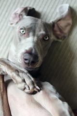 a shy girl? *.* (dohlongma) Tags: dog paw hand shy explore weimaraner rug dohlong