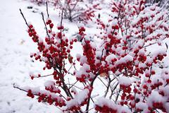 snow-heavy red berries