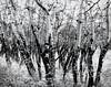 Aspen in Winter (scilit) Tags: trees blackandwhite bw nature landscape explore rockymountains aspen blueribbonwinner winterscenery aspenwoods platinumphoto november2009 thebestgallery daarklands bestofblackandwhitephotoaward