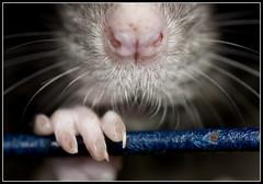 "Musophobia (hoho0482) Tags: pet macro me animal nose rat bars critter fear nails creature phobia ""drive macromonday wild"""