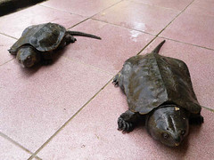 Siamese Big Headed Turtles