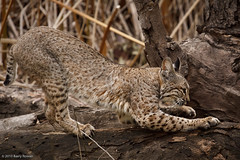 Scratching Post (Wildphotography - Barry Rowan) Tags: california winter nature animal cat mammal feline wildlife southerncalifornia bobcat locations goleta santabarbaracounty lynxrufus