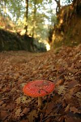 DSC_1098 (burato) Tags: cogumelo sendeiro congostro