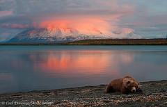 Grizzly bear, Katmai. (Skolai-Images) Tags: sunset animals wildlife mammals ursusarctos grizzlybears katmainationalparkandpreserve alaskacarldonohue2009