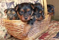 another basket of puppies 4 weeks old!