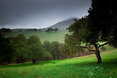 Edna Valley, California, Vineyard and Live Oaks in Rain (lyzadanger) Tags: california travel winter storm green clouds vineyard vines wine hills