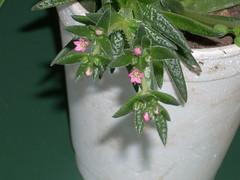 DSCN0002 (Maria luisa y sus cactus) Tags: cactus y otros mis interesantes injertos