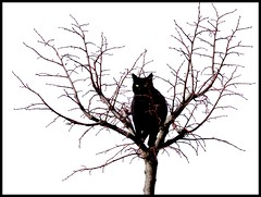 watching for... (safran83) Tags: black tree cat chat noir gato katze arbre perch flickraward