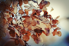 (rottnapples) Tags: winter garden botanic hydrangea botanicgarden stillness chicagobotanicgarden stillholdingon