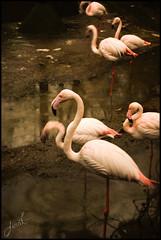 Animal Portrait 4 (frat@feather) Tags: portrait animal nikon flamingo feather portre firat hayvan frat d3000 grbzer fratfeather