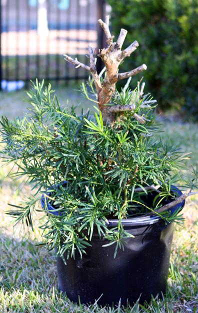 Podocarpus Pre-Bonsai