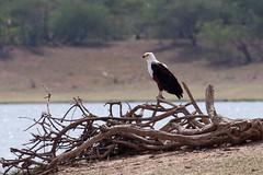 African Fish-Eagle (Hector16) Tags: africa bird tanzania safari selous haliaeetusvocifer selousnp