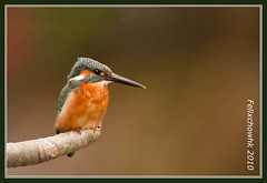 20100226_066 (felixcat2006) Tags: bird nature birds nikon wildlife 300mm kingfisher d200