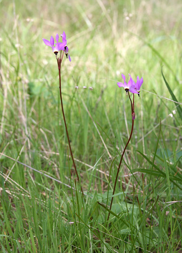 Dodecatheon jefferyi