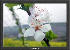 Natuarl White! (I\/IID) Tags: white macro green fence leaf spring iran blossom bokeh plateau hill stamen mazandaran sari 2010 bough omid    1388