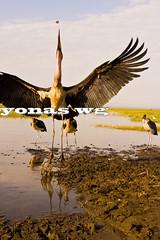 Awassa (Yonas wg) Tags: africa travel birds landscape foto ethiopia awassa stork ethiopian etiopia sidama ethiopie lakeawasa awasa yonas etiopija etiyopya etiopa abakoda
