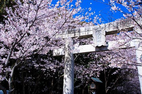 sakura and gateway to a Shinto shrine