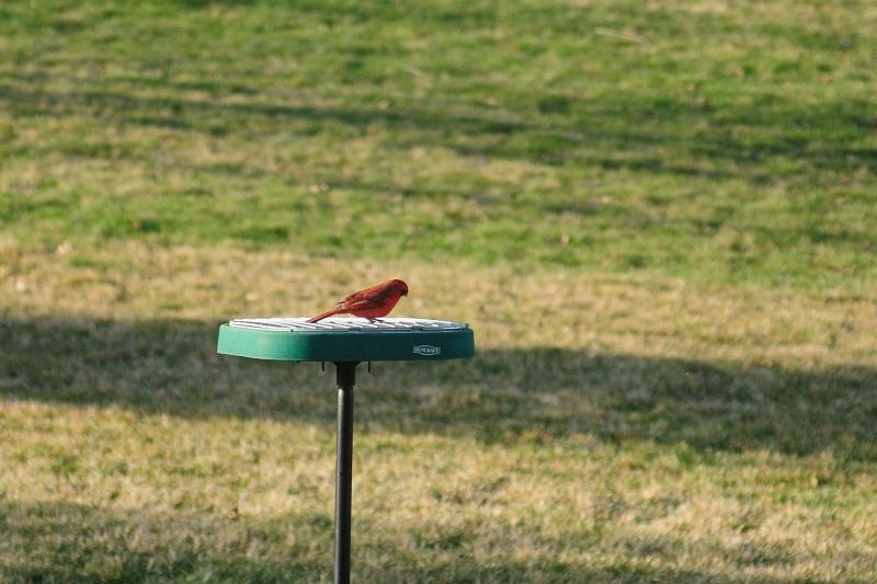 Cardinal, Taken by Brian