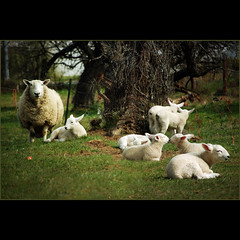 spring lambs . . . (dragonflydreams88) Tags: tistheseason theworldwelivein naturepoetry platinumphoto theunforgettablepictures dragondaggerphoto magicunicornverybest magicunicornmasterpiece hganimalsonly pinnaclephotography