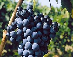 El bajo grado y el poco color en las uvas perjudica al mosto en la provincia