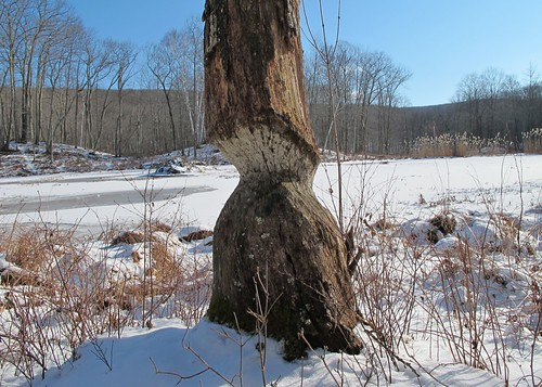 Chewed tree with beaver den behind