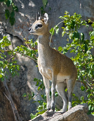 Klipspringer (Marc_Scott-Parkin) Tags: