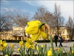 (Tlgyesi Kata) Tags: daffodil narcissus narzissen nyregyhza kossuthtr withcanonpowershota620 csuprosnrcisz