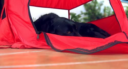 Labrador retriever black and red