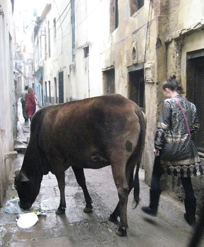 Varanesi Sacred Cow by iconic images