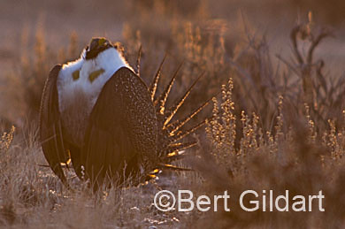 SageGrouse-202-2