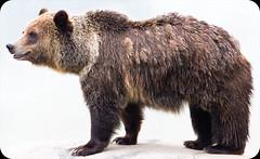 _MG_3942.jpg (sangderenard) Tags: bear oklahoma zoo tulsa grizzly grizzlybear tulsazoo
