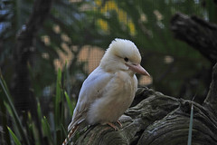 featherdale15.jpg (picsie14) Tags: white birds animals interestingness interesting wildlife sydney australia nsw featherdale birdwatching kookaburra 80400mm australiananimals interestingness2 longlens laughingkookaburra birdsofaustralia d700 nikond700