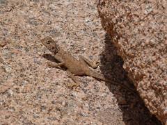 Rock Agama in Wadi Rum P1100774 (grebberg) Tags: wadi rum desert valleyofthemoon jordan rockagama laudakiasp lawrencesspring roughtailrockagama lizard agama reptile