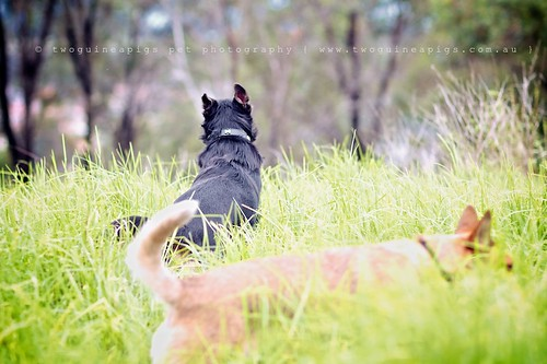 Play Baxter the Kelpie, photographed by twoguineapigs pet photography.