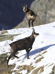 Camosci15 (Lunghefocali.snc) Tags: camoscio rupicaprarupicapra dolomiti valdifiemme trentino altamontagna biancoenero wildlife nature