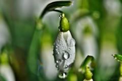 ~~ De la pluie sur les Perce Neige...~~ (Joélisa) Tags: macro février2016 perceneige fleur flower gouttelettes pluie bokeh