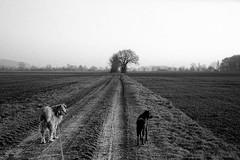 (salparadise666) Tags: kiev iia jupiter 8 50mm agfa apx100 caffenol rs 13min russian camera dogs animal bw black white monochrome landscape nature nils volkmer niedersachsen germany hannover region calenberger land