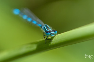 Mercury Bluet