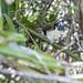 Geoffroy's tamarin monkey -  wild titi monkeys gamboa panama pandemonio 2017 - 16