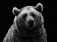 [フリー画像] [動物写真] [哺乳類] [熊/クマ] [モノクロ写真]       [フリー素材]